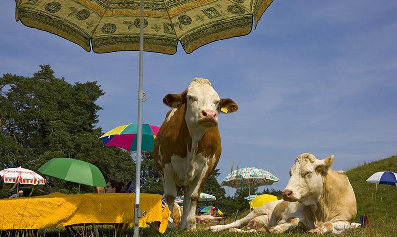 Kühe unter Sonnenschirmen, Badestrand, Oberbyern, Deutschland cows under sunshades, Upper Bavaria, Germany